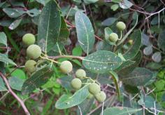 Boscia senegalensis