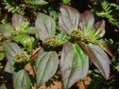 Euphorbia hirta2