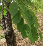 Pterocarpus erinaceus
