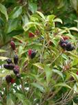Syzygium aromaticum 1